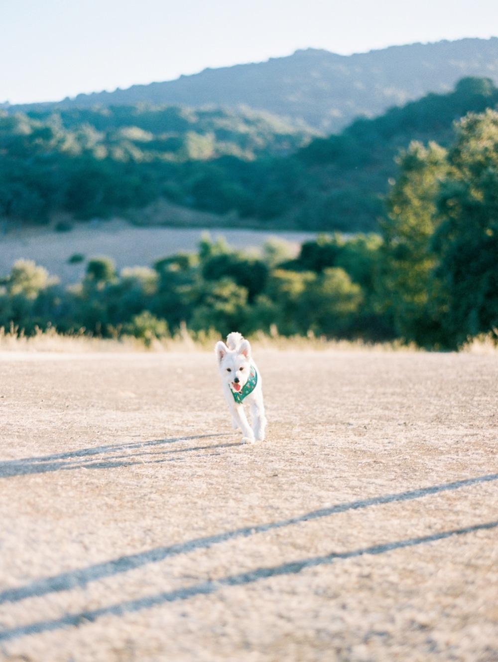Kristin-La-Voie-Photography-california-wedding-photographer-dog-session-rancho-san-antonio-los-altos-33